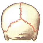 Рис. Неподвижное соединение костей черепа с помощью швов.
