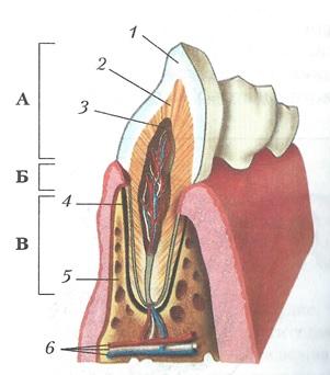 Рис. Схема строения зуба.