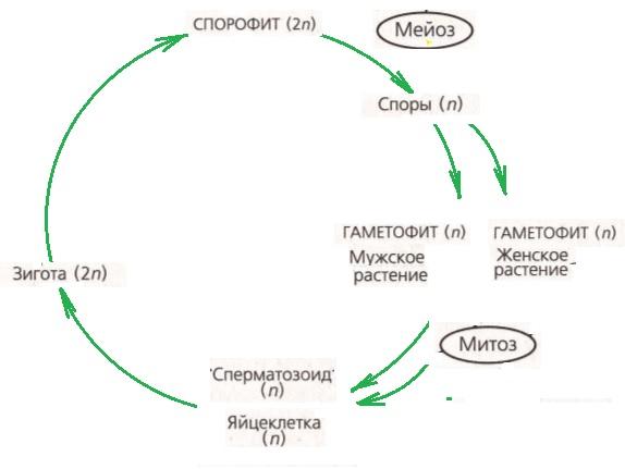 жизненный цикл споровых