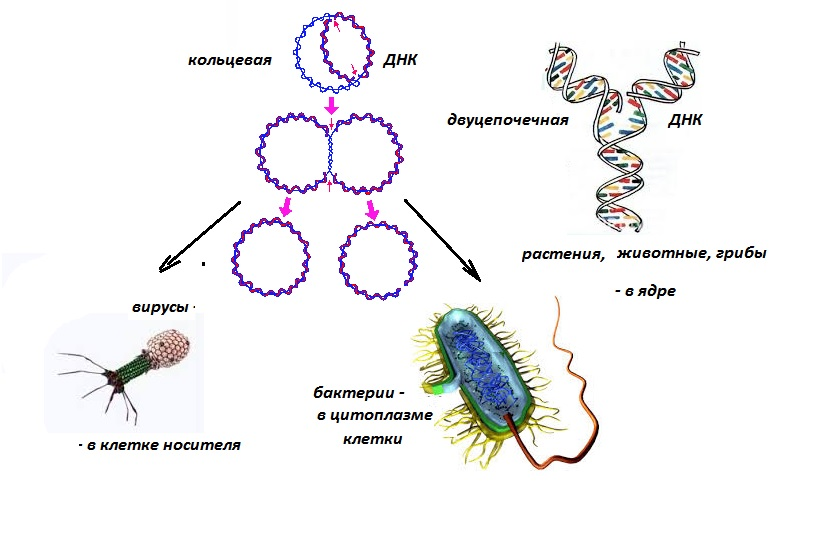 репликация ДНК