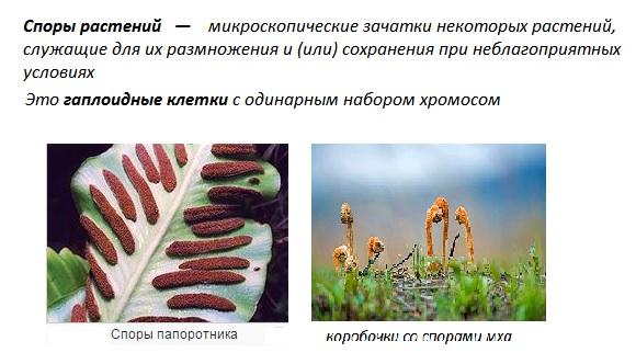 споры растений