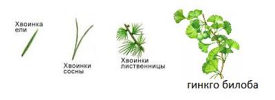 листья голосеменных
